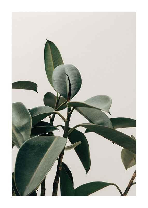 Rubber Plant-1