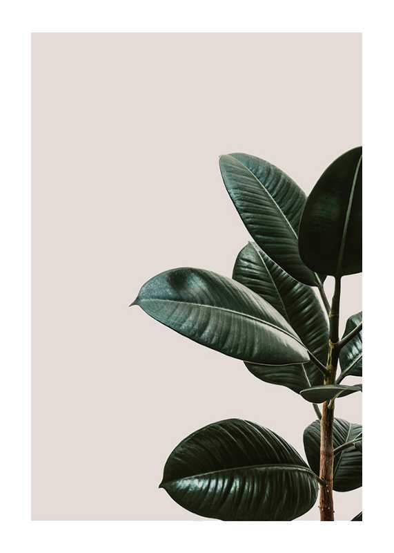 Rubber Plant Natural-1