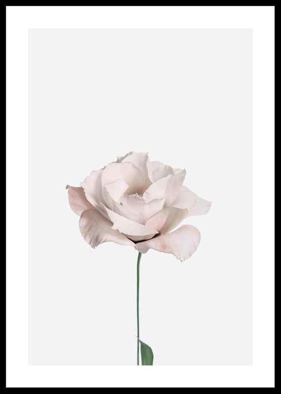 Pink Rose No2