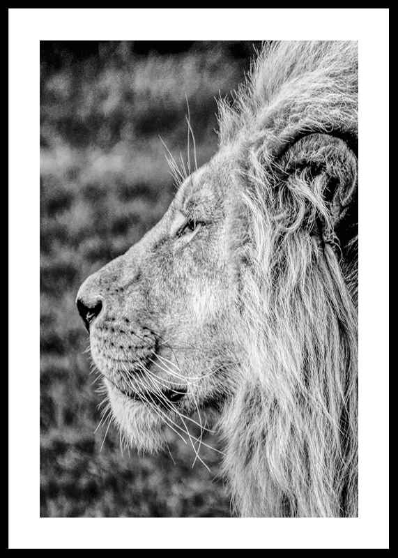 Male Lion Profile-0