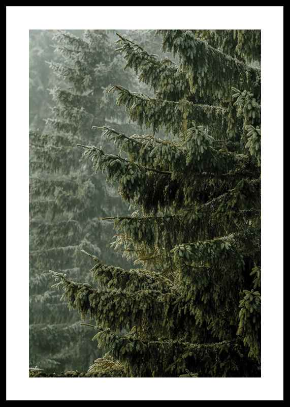 Spruce Trees-0