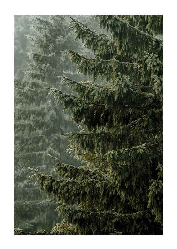 Spruce Trees-1