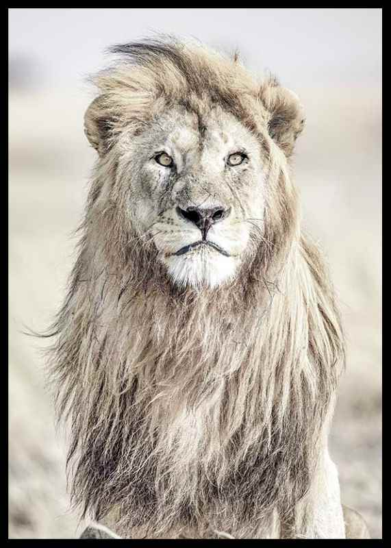 Majestic Lion Color-2