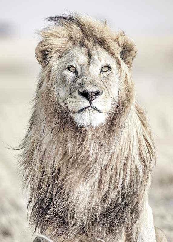 Majestic Lion Color-3
