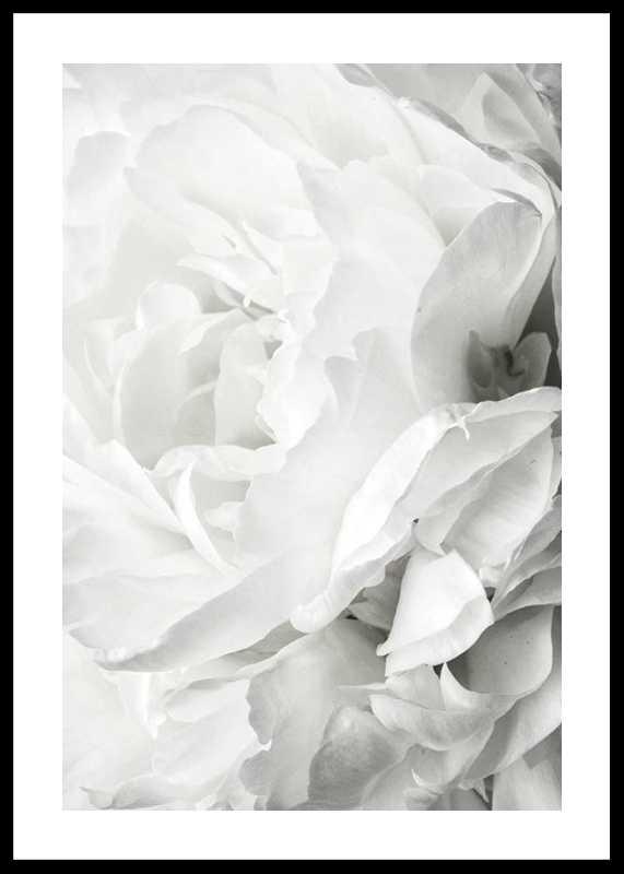 White Rose No2-0