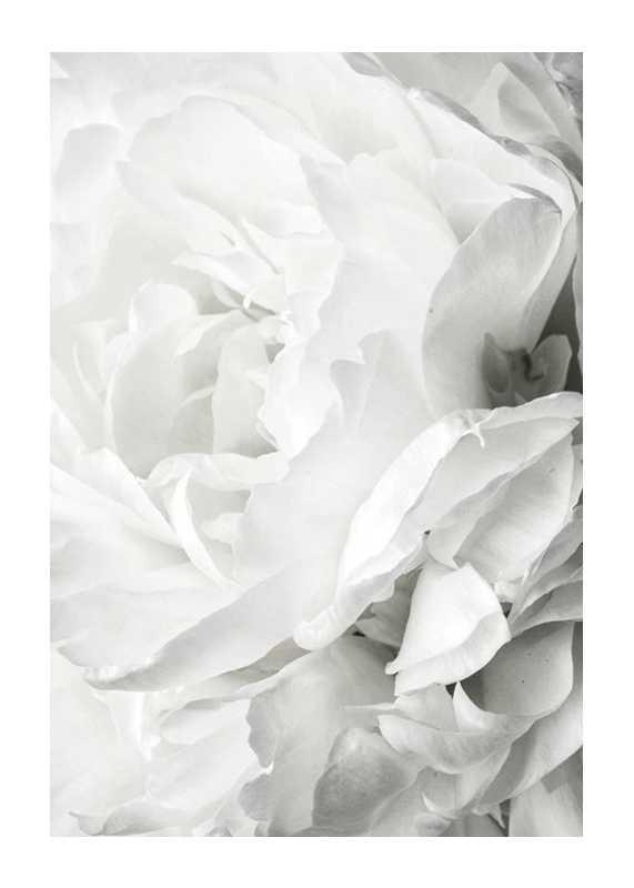 White Rose No2-1