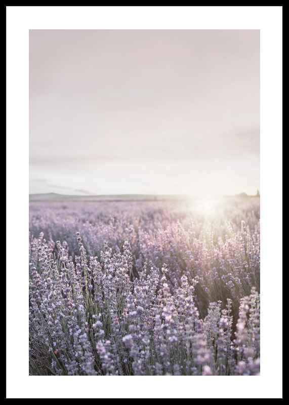 Provence Lavender-0