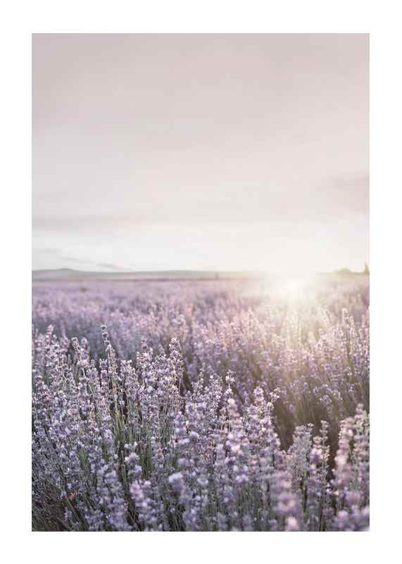 Provence Lavender-1