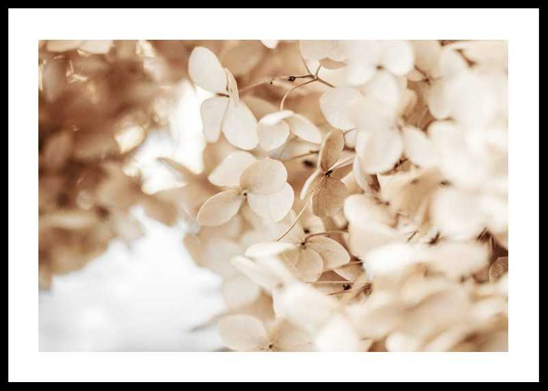 Dried Hydrangea No2
