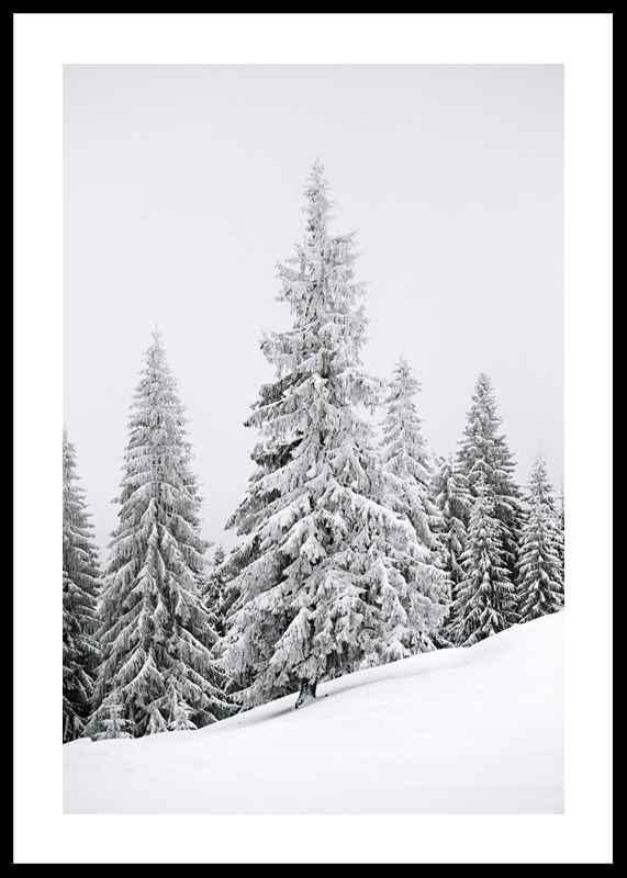 Spruce In Winter