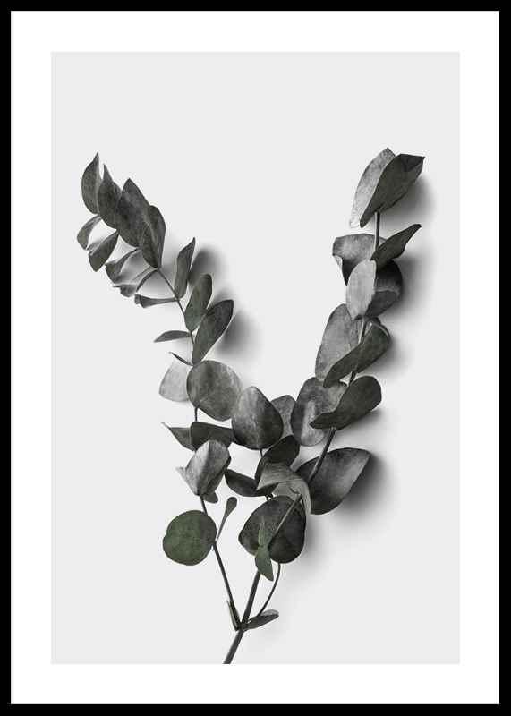 Eucalyptus No3