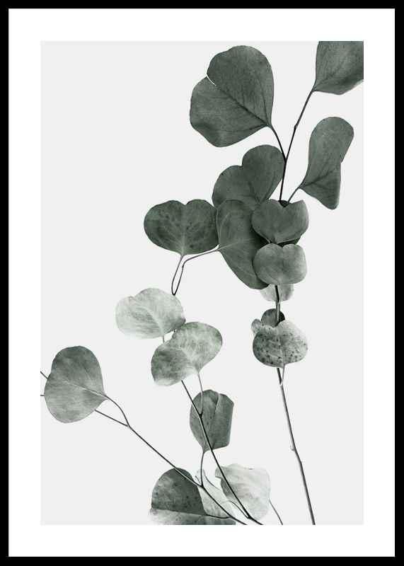 Eucalyptus No7