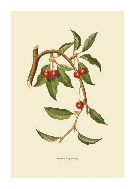 Red Cherries-1