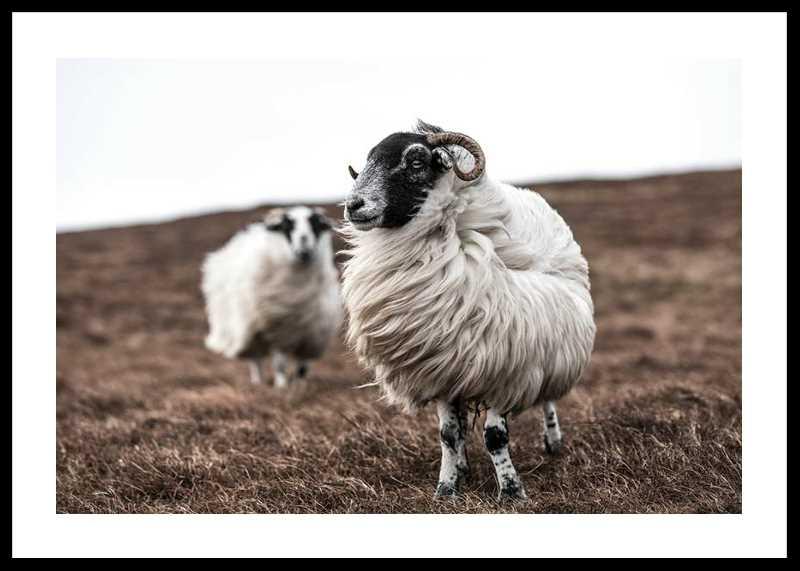 Farm Sheep-0