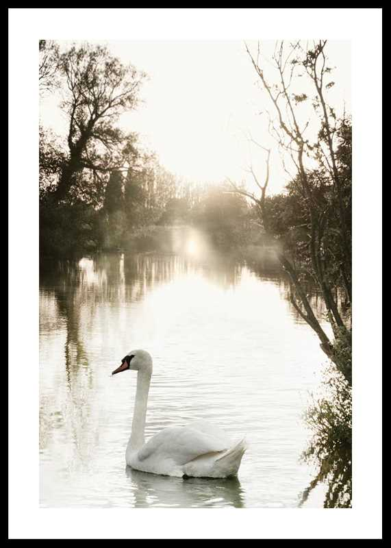 White Swan-0