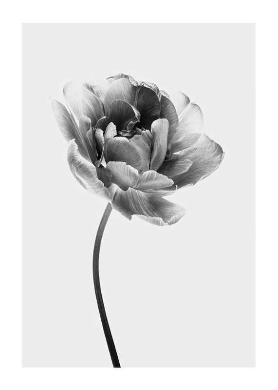 Tulip Flower B&W-1
