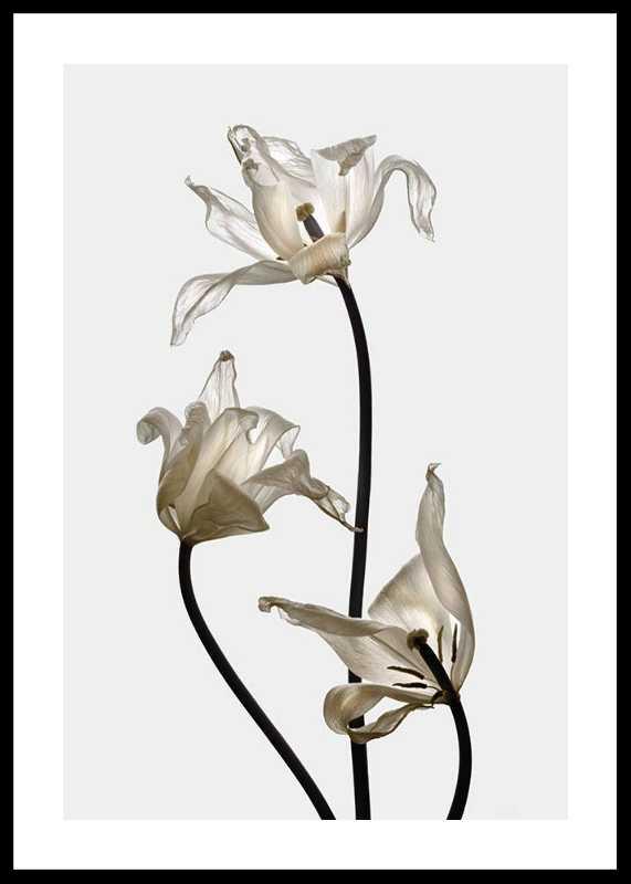 Tulips-0